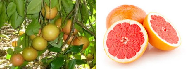 Grapefruit ruột đỏ