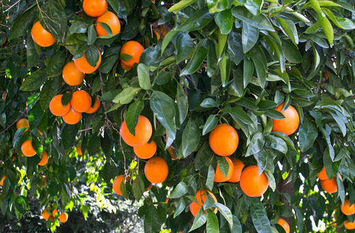 Quýt Tangerine